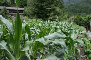 とうもろこし収穫体験(6月25日)