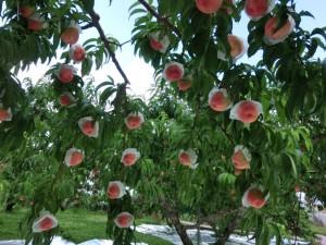 peach1501